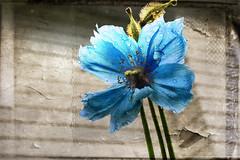 himalayan blue poppy (meconopsis) (Honey Buster) Tags: poppy himalayanbluepoppy texture papaver rain exoticimage netartii simplysuperb magicunicornverybest nikonflickraward meconopsis coth
