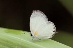 IMG_8048 Oboronia guessfeldti (Raiwen) Tags: oboronia oboroniaguessfeldti lycaenidae polyommatinae insect butterfly africa westafrica guinea basseguinée lowlandrainforest