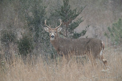Six points (Earl Reinink) Tags: whitetaileddeer wild animal winter woods snow snowing forest
