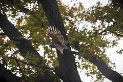 Barred owl hunting in the late afternoon. Forest Park. (amy buxton) Tags: forestpark forest savanna prairie woods owl barredowl fall autumn amybuxton stlouis nature natural birds 60