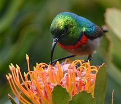 Sunbird South Africa (SuzieAndJim) Tags: southafrica sunbird suzieandjim