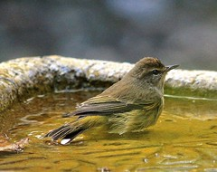 Bird's Bath (ACEZandEIGHTZ) Tags: warbler bird birdbath nikon d3200 nature songbird small setophaga macro closeup birdwatcher backyard palm palmarum coth coth5 sunrays5