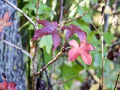 Winter is Coming (robert.babnick) Tags: fall autumn leaves color red change cold colorful florida west coast bark wood tree