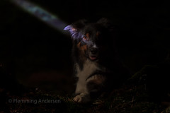 in low light (Flemming Andersen) Tags: dog bordercollie yatzy forest dark light