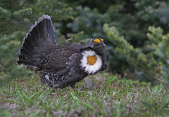 Sooty Grouse (tomblandford) Tags: sootygrouse grouse displayinggrouse olympicnationalpark olympicnationalparkbirds conservation protecttheenvironment protectpubliclands protectwildlife nature wildlife wildlifeofthewest