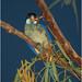 Northern Rosella - Nitmiluk National Park (Katherine Gorge), Northern Territory, Australia
