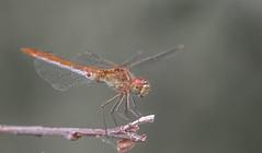 Dragonfly / Sympetrum meridionale / fakó katona-szitakötő (Torok_Bea) Tags: d7200 dragonfly nikon nikond7200 natur nature nikond nationalpark sigma sigmalens sigma105 szitakötő macro summer littlebalaton sympetrummeridionale fakókatonaszitakötő
