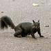 Squirrel 19