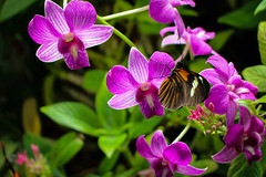 Orchid Flowers and Postman (Stephen G Nelson) Tags: insect flower orchid butterfly botanicalgarden tucson arizona