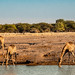 Giraffes at waterhole. They rotate. Some are drinking during other check the environment for predators.