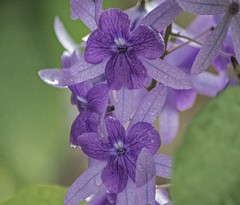Petria Purples (ACEZandEIGHTZ) Tags: nikon d3200 petria bokeh flower macro closeup purple queens wreath volubilis