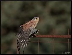 FAUCON CRECERELLE ETIREMENT D'AILE (pat lechner) Tags: faucon fauconcrécerelle marquenterre baiedesomme picardie