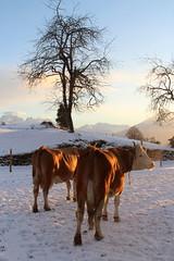 Kühe ( Kuh cow ) im Winter im Schnee bei Schwanden Säge im Berner Oberland im Kanton Bern der Schweiz (chrchr_75) Tags: albumzzz201901januar januar 2019 hurni christoph chrchr chrchr75 chrigu chriguhurni chriguhurnibluemailch schweiz suisse switzerland svizzera suissa swiss albumregionthunhochformat thunhochformat hochformat kantonbern kanton bern