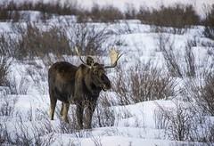 RadiantCkMoose_Feb2013_741 (Archie Richardson) Tags: bullmoose ramriver