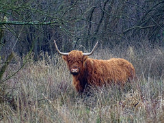 Highland Cattle (Bos taurus) (M.L Photographie) Tags: animal nature vache highland france normandie normandy eure sony dschx400v cow faune mammifère