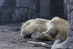 Laat me slapen (Marjon van der Vegt) Tags: diergaardeblijdorp rotterdam dieren vlinders tijgers giraffen ijsberen vogels