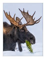 Yellowstone (Andrew (westpalmdoc1)) Tags: moose nikon d850 600mm yellowstone