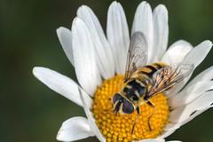 Na Na Na Na Na Na Na Batman! - _TNY_5218 (Calle Söderberg) Tags: macro canon canoneos5dmarkii canonef100mmf28usmmacro canon5dmkii 5d2 flash meike mk300 glassdiffusor raynox dcr250 diptera fly hoverfly blomfluga batmanhoverfly myathropa florea syrphidae dödskallefluga eristalinae eristalini flower prästkrage daisy oxeyedaisy leucanthemum vulgare white yellow hair hairy fuzz fuzzy fur furry f22