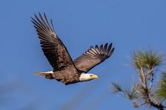 American Bald Eagle Inflight (dbadair) Tags: outdoor nature wildlife 7dm2 canon florida bird