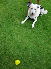 Doggo ready to pounce on his tennis ball (Peter ZZZ) Tags: animal dog fitness galaxys8 grass green lawn leash outdoors owner park samsung sports tennisball white royalbotanicgardens melbourne