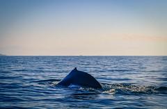 Humpback Whales in Bahia de Banderas (julienjustamon) Tags: baleine whale ballena delfin dauphin dolphin bahiadebanderas mexico mexique ocean pacifique pacifico