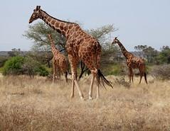 The Clan by Nina (alpenglowtravelers) Tags: african safari kenya samburu