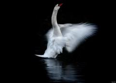 Swan dance! (Nina_Ali) Tags: motion artwithyourheart swan swandance nature blackbackground bradgatepark ninaali winter2019 nikond5500