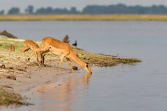 Impala family (Thomas Retterath) Tags: thomasretterath nature natur 2018 safari nopeople fluss chobe botswana africa afrika river wildlife aepycerosmelampus impala bovidae pflanzenfresser herbivore säugetier mammals animals tiere schwarzfersenimpala