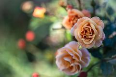 A Soft Moment (NathalieSt) Tags: europe france hérault lagrandemotte languedocroussillon occitanie nature nikon nikonz6 nikonpassion nikonphotography z6 rose flower fleur