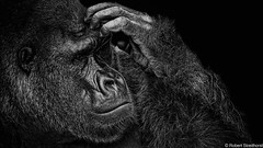 The Thinker (Robert Streithorst) Tags: cincinnatizoo gorilla male mishindi mono robertstreithorst silverback zoosofnorthamerica