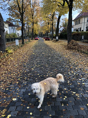 2018/11/12-AKIOS-53 (Arend Kuester) Tags: autumn berlinerphilharmoniker colours herbst road saluki