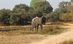 Dumbo (7Diana) Tags: elephant mole national park ghana africa