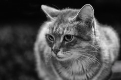 338/365: I just need to be loved... (judi may) Tags: 365the2018edition 3652018 day338365 04dec18 100xthe2018edition 100x2018 image91100 cat malta feralcat feline monochrome mono blackandwhite canon5d stjulians sliema bokeh dof depthoffield whiskers