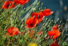 PAPAVERI SUI NAVIGLI (Ferdinando Tubito) Tags: natura fiori papaveri naviglio fiume acqua erba sole silenzio camminare condividere flora