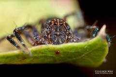 Lynx spider (cf. Hamataliwa sp.) - DSC_7954 (nickybay) Tags: singapore chestnutavenue macro lynx spider oxyopidae hamataliwa