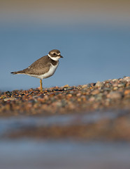 Semipalmated Plover_E1U0144 Sep 2018 (www.sabrewingtours.com) Tags: semipalmated semi palmated plover bird water whitefish point observatory wpbo bz brian zwiebel sabrewing nature tours snt shorebird fall juvenile plumage michigan up upper peninsula pt migration canon photo tour photography beach sand