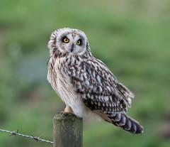 Short-eared Owl (Lutra56) Tags: owl nature wildlife lincolnshire birds britishbirds asioflammeus shortearedowl