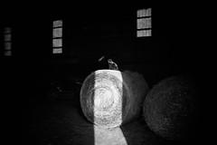 round bale (Jen MacNeill) Tags: black cat pet kitten animal farm barn cats bnw bw white