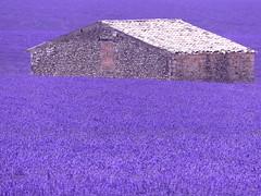 P1810073 (alainazer2) Tags: valensole provence lavande 3000v120f lavanda lavander fleurs flowers fiori champs fields cabane maison pierres stones