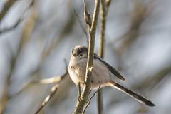 Long tailed tit (jamesdewar99) Tags: longtailedtit bird garden nature birdlife uk scotland wildlife canon tamron150600mm
