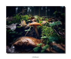 DSC06900 (J.Wolfmaier) Tags: sonyalpha autumn winter forest mushroom macro macrophotography woodland moody