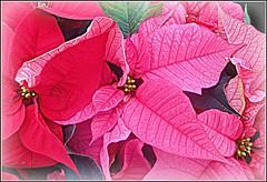 Popular At Christmas ... (** Janets Photos **) Tags: uk nature red flowers fauna flora poinsettiaplants closeups macro