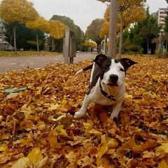 Run Odin Run (bekircicek1) Tags: dog animal green autmn fall yellow konya bosna park natural