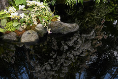 reflections (A Cromwell) Tags: nybg botanicalgardens garden orchid orchidshow orchidshow2019 white whiteflowers
