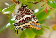 (Neus PratsTur) Tags: charaxes arbocer natura nature tamron metamorfosi papallona macro