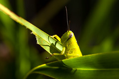Grasshopper (Roz B) Tags: approved frog green