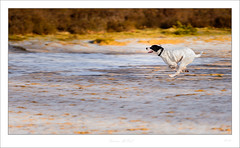 DMC_7814 (duncen.mcleod) Tags: engelsepointer englishpointer madeinholland spaansepointer 2018 70200f28 allardoog allardseach allardseachmandeveld allardsoog animal animals bakkeveen beautiful bokeh d4 dslr dog dogs eu europa europe fx friesland fryslân haustier holland hond honden huisdier hund hunden nature natuur nederland netherlands niederlande nieuwallardsoog nikkor nikon nikonpower outdoor pet piero pierosky pirosky pointer thenetherlands wit f28