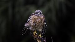 Red-Shouldered Hawk (Chris Hardee Photography) Tags: wetbird hawk d500 nikon tmgoodwin birdofprey birdphoto floridabirds bestbirdpics bird raptor redshoulderedhawk