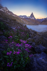 The Matterhorn at Sunrise (AirHaake) Tags: matterhorn swissalps switzerland alps flowers purple sunrise mountain glacier vertical landscape landscapephotography