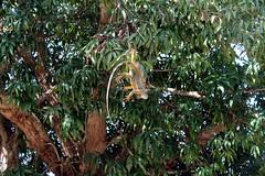 Garrobo Sayayin (Davichi) Tags: garrobo naturaleza animal reptil nature verde green tree arbol